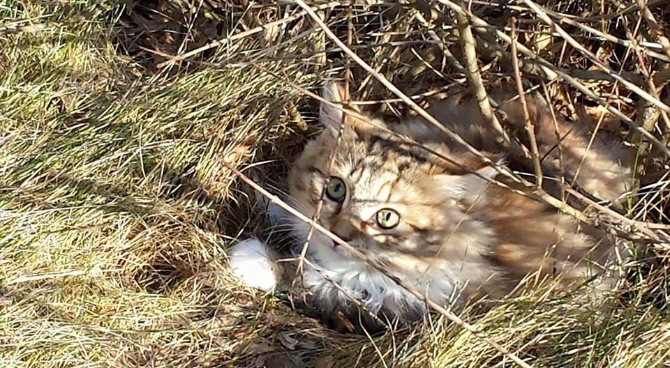 The Neva Masquerade Cat Breed And Its History