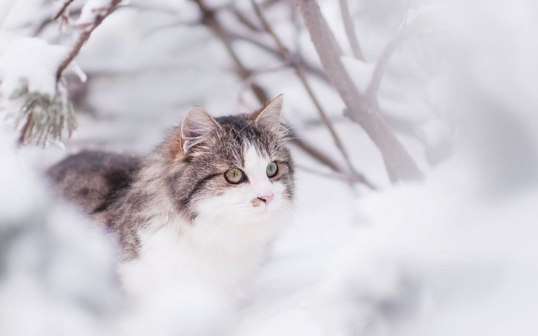 Do Cats Grow Thicker Coat During Cold Months? (Siberian)